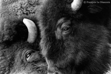 Ref MAGIC 1 – American bison, Antwerp Zoo, Belgium