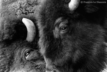 Ref MAGIC 1 – American bison, Antwerp Zoo, Belgium