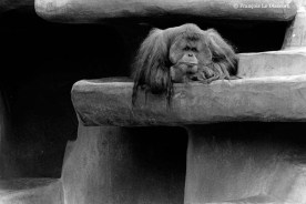 Ref MAGIC 10 – Orangutang resting on a rock, San Diego Zoo, California, USA