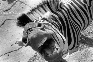 Ref MAGIC 11 – Angry zebra growling, Antwerp Zoo, Belgium
