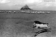 Ref MAGIC 12 – Sheep and dog in the saltine meadows around the Mont Saint-Michel, France