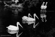 Ref MAGIC 13 – Pelicans in formation with their shadows, Frankfurt Zoo, Germany