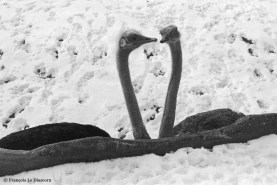 Ref MAGIC 17 – Two ostriches in the snow in the form of a heart. Vincennes Zoo, Paris, France