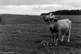 Ref MAGIC 20 – Cow with a crown of flowers on its head and standing in front of a small flower garden on the plateau of Aubrac, France