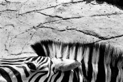 Ref MAGIC 22 – Zebra, Antwerp Zoo, Belgium