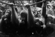 Ref MAGIC 23 – Four orangutans, Singapore Zoo