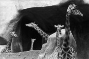 Ref MAGIC 5 – Composition with necks of giraffes, Vincennes Zoo, Paris