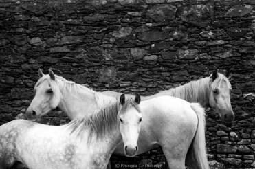 Ref MAGIC 6 – Three white horses, Killorglin, Ireland