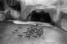 Ref MAGIC 7 – Penguins in perfect swimming formation with their director, Vincennes Zoo, Paris, France