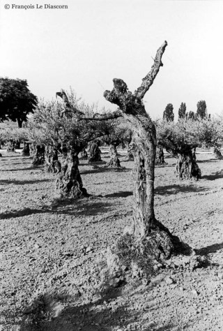 Ref TREES 1 – Olive tree dancing near Nyons, Drôme department, France