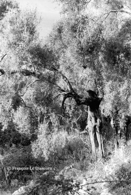 Ref TREES 12 – Olive tree with human shape, Meganissi island, Greece