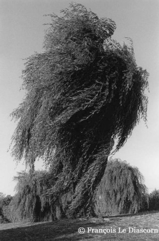 Ref TREES 18 – Wind blowing a weeping willow, Pertuis in the Luberon, France