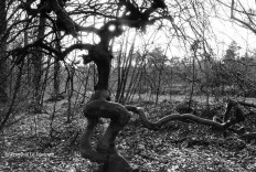 "Ref TREES 4 – ""Faux de Verzy"", Champagne, France"