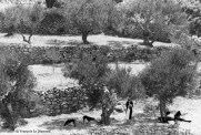 Ref GREEK ISLANDS 15 – Family in olive orchard, Olympos village, island of Karpathos
