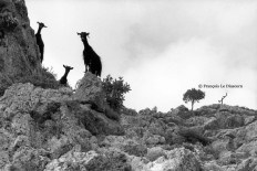 Ref GREEK ISLANDS 4 – Three curious goats, Loutro village, Creta island