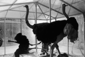 Ref Zoo 14 – Three ostriches, one of which has fallen on its side