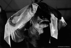 Ref Zoo 21 – Water buffalo protected by a sheet of paper after being restored