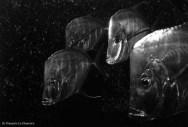 """Ref CREATURES 11 – The """"Look-Downs"""" (alectis alexandirinus). Basel aquarium, Switzerland"""