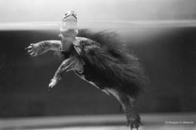 Ref CREATURES 13 – Chinese Moss Turtle, Beppu aquarium, Japan