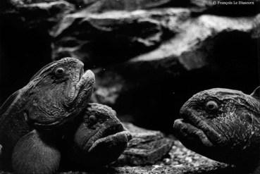 Ref CREATURES 18 – Wolf Eels (amarrhichiblys ou anarhichas sp), Tokyo aquarium, Japan