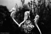 Ref CREATURES 3 – Three sea horses in profile, Amsterdam aquarium, Holland