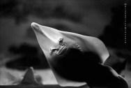 Ref CREATURES 8 – Pointed-head Stingray (rhinobatos rhinobatos), University of Tokai aquarium, Tokyo, Japan