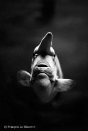 Ref CREATURES 9 – Unicorn Fish, University of Tokai aquarium, Tokyo, Japan